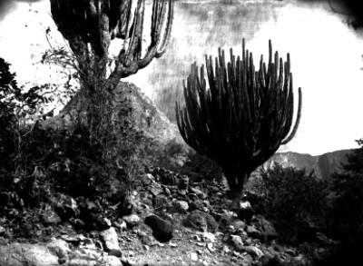 Cactus en un cerro