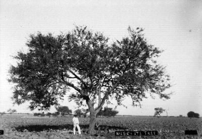 MEZQUITE TREE