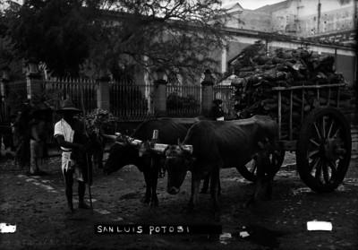 """Hombre junto a carreta jalada por bueyes en """"San Luis Potosí"""""""