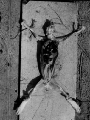 Exhibición de la disección de un conejo para reconocer la anatomía interna