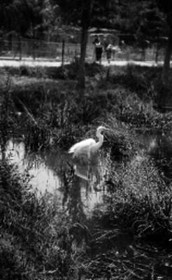 Garza en la laguna de un zoológico