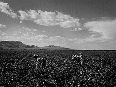 Mujeres campesinas en la pisca de algodón