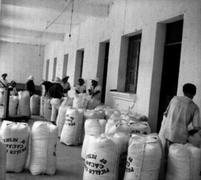 Trabajadores pesan sacos con cacao en un almacén, en la finca de Picalco