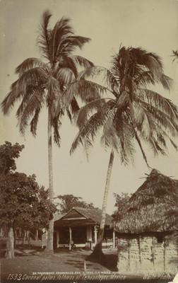 1533 Coconut palms. Isthmus of Tehuantepec. México