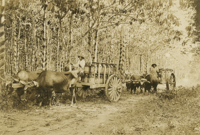 """Indígenas conducen en carretas """"caucho"""""""