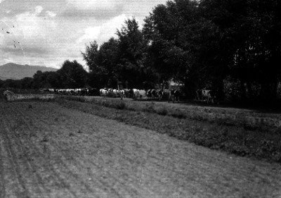 Vacas pastando junto a un campo de sembradio