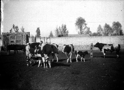Vacas con sus crías en el corral de un establo