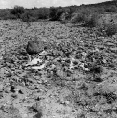 Huesos de animal en los llanos del Rancho de Santa Gertrudis