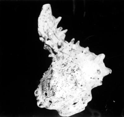 Fragmento de caracol, reprografía