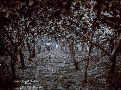 """""""Cacao or Chocalate Plantation"""", Hombres en una plantación de Cacao"""