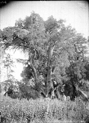 Arbol de la Noche Triste ubicado en Popotla