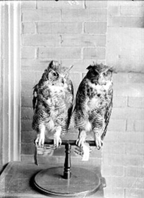 Pareja de búhos disecados en el Museo de Historia Natural