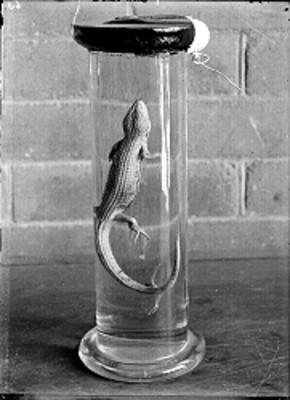 Reptil en un frasco en el Museo de Historia Natural