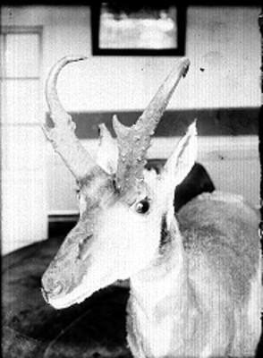 Ciervo disecado en el Museo de Historia Natural