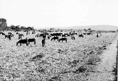 Manada de mulas pastan en el campo