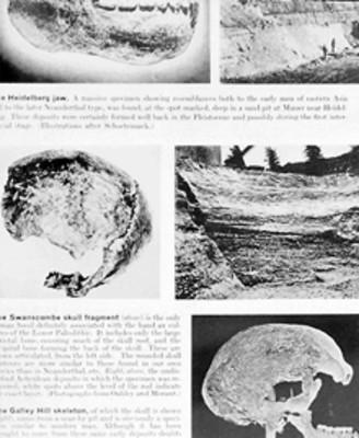 Ilustración de cráneos fósiles del homo Neandertal