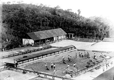 Trabajadores laboran en una plantación de café