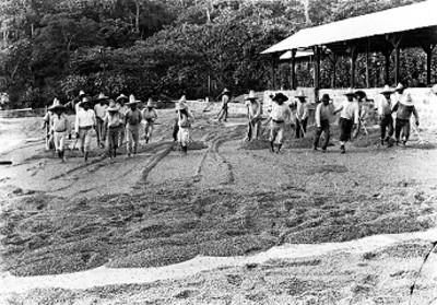 Campesinos durante la cosecha de café