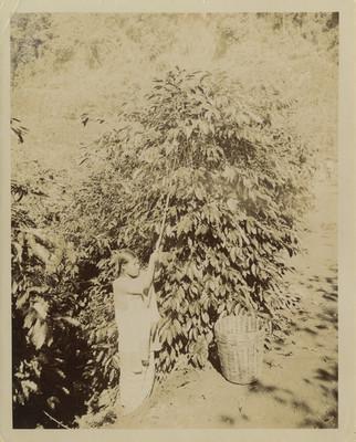 Mujer con cesto y garrocha recolecta café