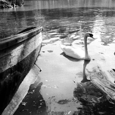 Cisne junto a canoa en el lago de Chapultepec