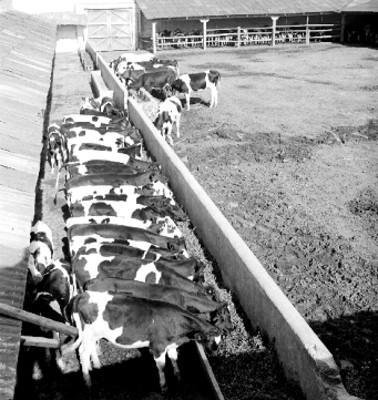 Terneras en los comederos de un corral