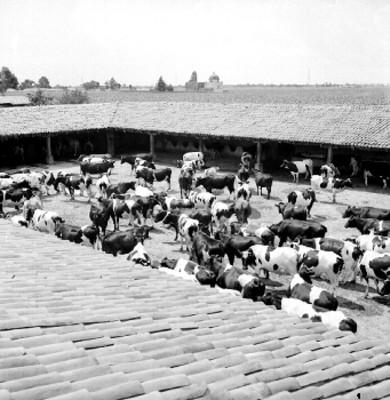 Vacas lecheras en los corrales de una hacienda