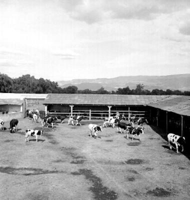 Vacas entran a un corral
