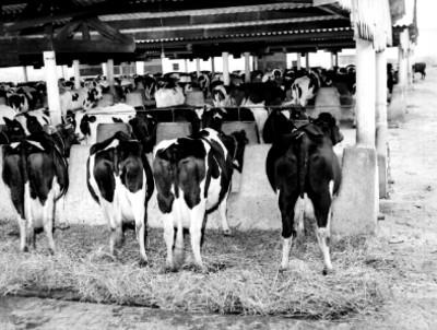 Vacas en los bebederos de un establo