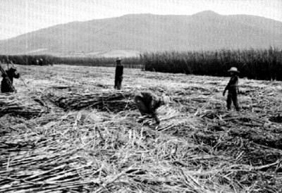 Trabajadores cortando caña en un ingenio