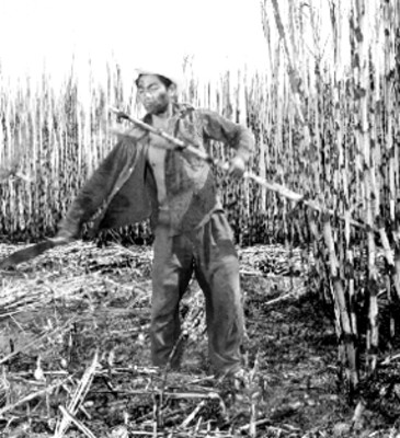 Trabajador cortador de caña de azúcar
