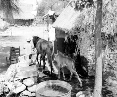 Niño jala una yegua con su cría en un patio