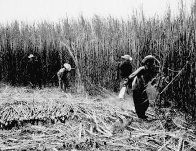 Hombres cortan caña de azúcar