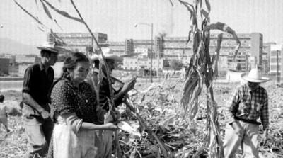 Campesinos cosechan maíz en un campo cercano a la unidad habitacional Miguel Alemán