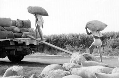 Cargadores cargan costales con cosecha de arroz en un camión