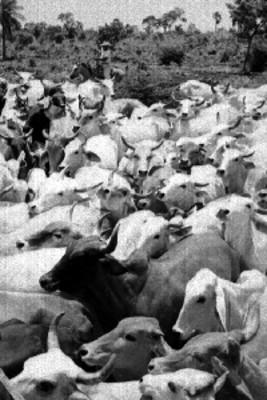 Vaquero arrea ganado vacuno