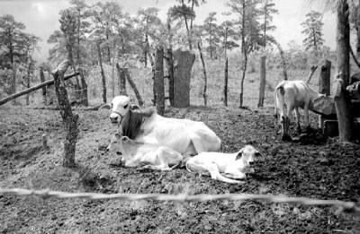 Cebus con sus crias en un corral