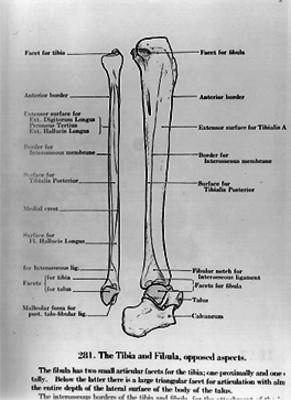 Esquema de hueso humano, ilustración