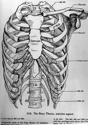 Lámina de los huesos del tórax