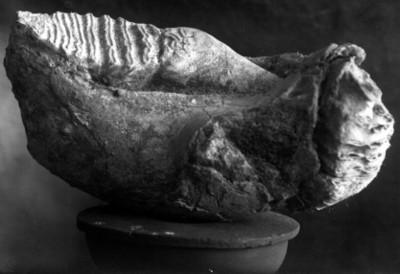 Fósil de un molar, vista parcial
