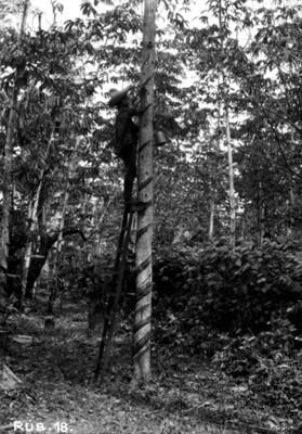 Hombre en una escalera extrae caucho de un árbol