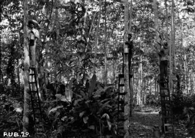 Trabajadores en escaleras extrayendo caucho de arboles