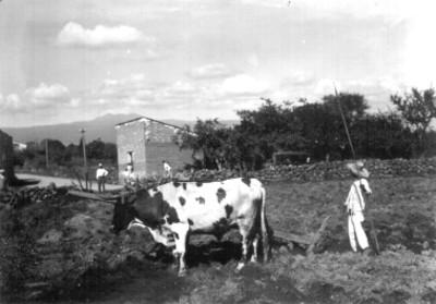 Niño con yunta tirada por bueyes en un campo de cultivo