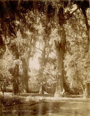 Árboles de ciprés en Chapultepec