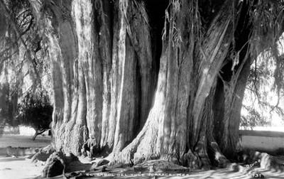 El árbol del Tule-Oaxaca, Méx.