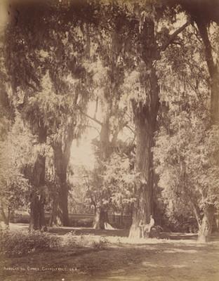 Arboles de ciprés [en] Chapultepec