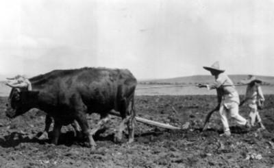 Campesinos oran la tierra con una yunta de bueyes