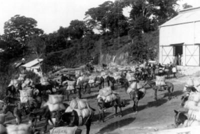 Transporte de café típico en mulas