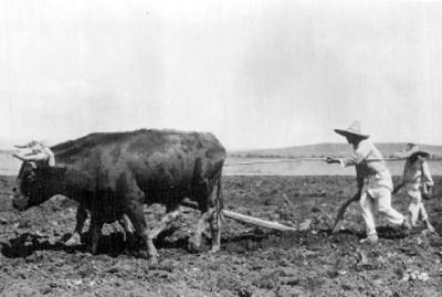 Hombres labran la tierra con una yunta