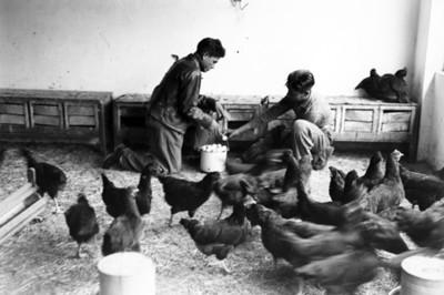 Escuela Granja, recolección de huevos