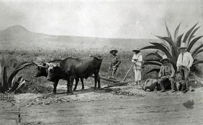 Campesinos con yunta trabajan en campo de cultivo